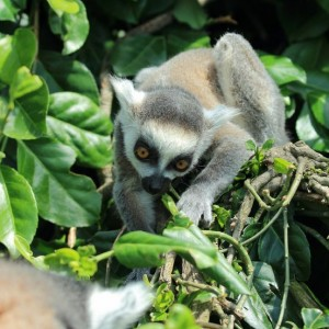 Sleep Mysteries May Solved By Studying Lemurs