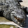 Crocodiles Up Close and Personal