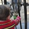 Feeding Giraffes at the Houston Zoo